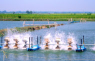 Back to a new normal: Shrimp stocking picks up in Odisha