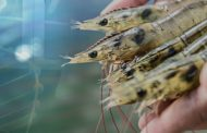 API plans to supply 10000 shrimp broodstock in second quarter