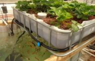Aquaponics: A promising food production system to meet future challenges