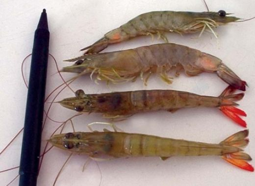Disease surveillance and reporting for sustainable aquaculture
