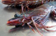 RNAi - a therapeutic tool in aquaculture