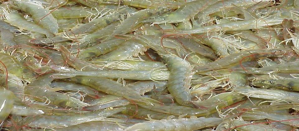 Shrimp harvesting amid Covid scare:  production drops in East Medinipur district, West Bengal