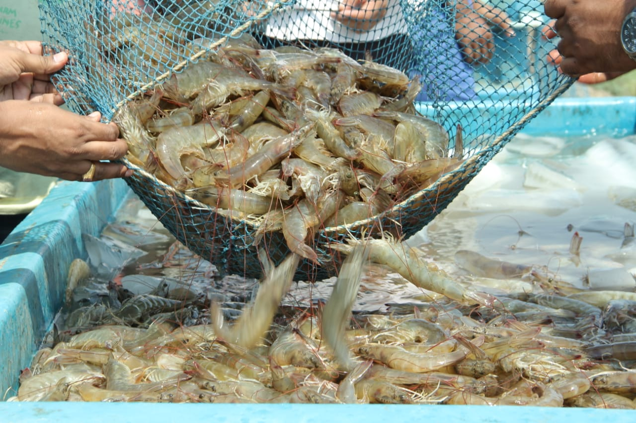 Shrimp farmers in West Bengal go for panic harvest